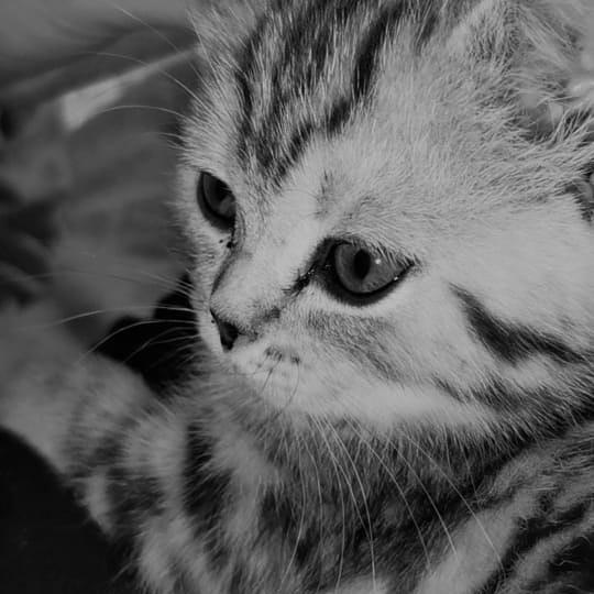 Шотландский котенок прямоухий