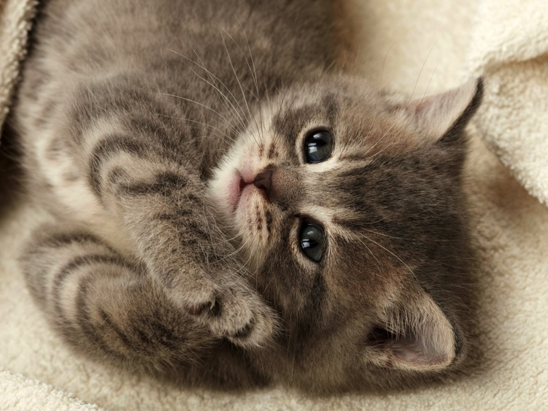 какого котенка лучше завести в квартире отзывы