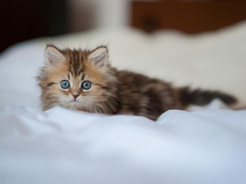 котенка какой породы лучше завести