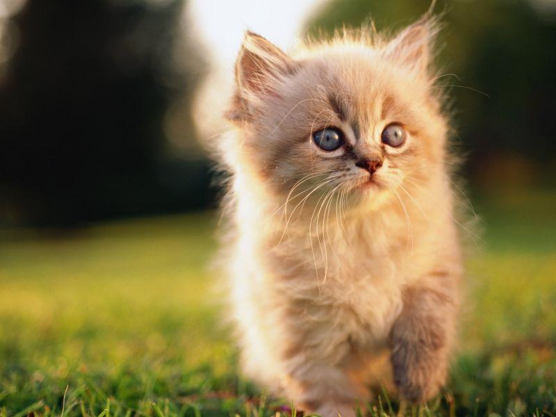 какого цвета лучше завести котенка