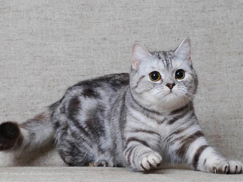 порода кошек шотландская