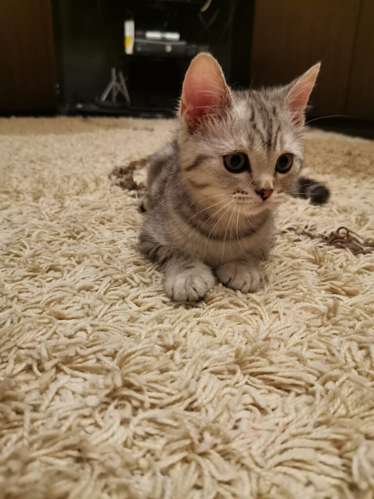 Шотландская кошка мраморный окрас